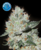 Kera Medical OG Kush Female 10 Cannabis Seeds